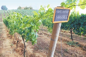 Monte Antico Vineyard 21