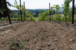 Gold Ridge Soil and Vines