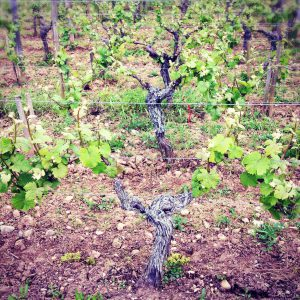 Biodynamic viticulture in France