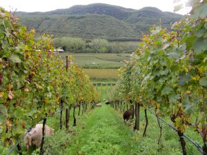 Manincor Biodynamic Vineyards in Alto Adige Italy
