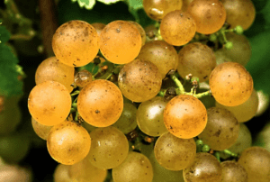 bdx white grapes